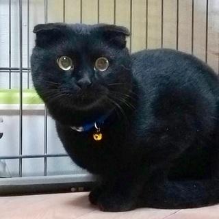 耳折れスコティッシュ風黒猫ルーカス