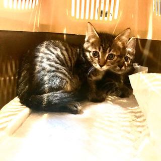 2.5ヶ月子猫里親様募集 - 猫