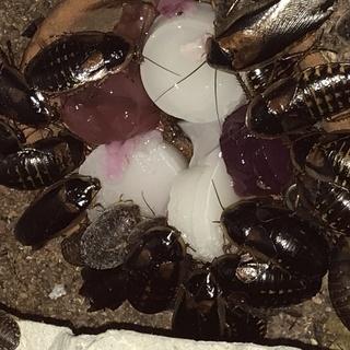 デュビア Mサイズ20匹程度+卵ケース+ラビットフード+昆虫ゼリ...