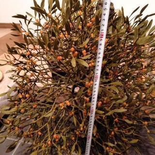 クリスマス飾りに。宿り木縦横約70センチ