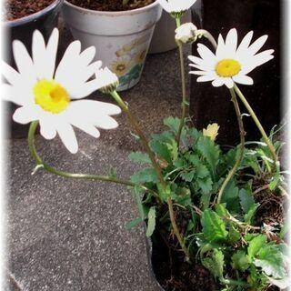 【狂い咲き】フランスギク5号ビニールポット入り苗