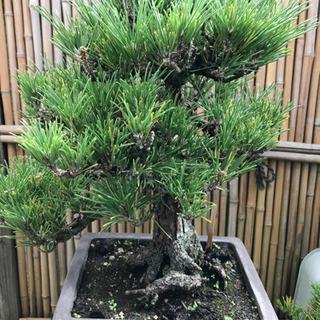 格安、赤松盆栽 (実生 樹齢40年、樹高38cm.樹幅32cm)