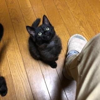 キャンセルが発生、募集再開です。猫3兄弟の優しい飼い主さん探して...