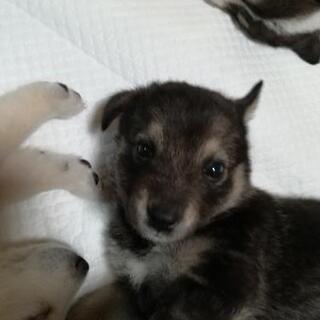 10月22日台風の日に生まれました。野犬の赤ちゃん9匹保護しました。