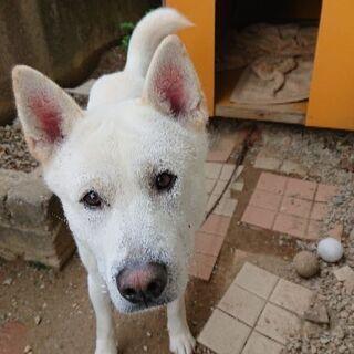 紀州犬です。12月23日に3歳になります。