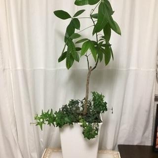 観葉植物 パキラ アイビー
