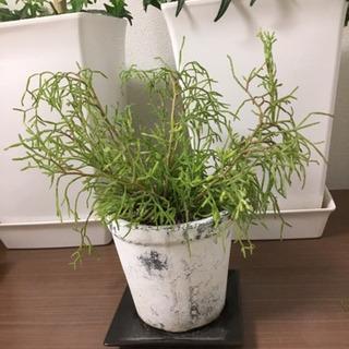 リプサリス 観葉植物