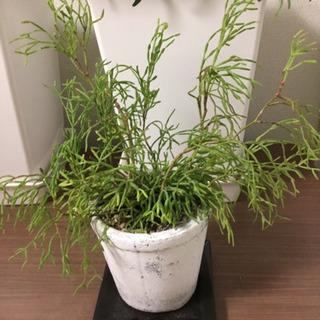 観葉植物 リプサリス 森のサボテン