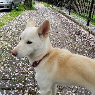 元気な♀の子、白とベージュの紀州犬です。面会中
