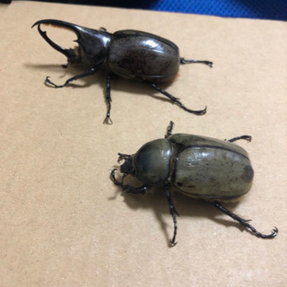 グラントシロカブト幼虫 4匹セット
