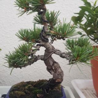 盆栽ください❗️引き取りに伺います‼︎黒松・真柏・五葉松・杜松・...