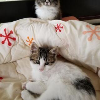 おとなしい姉妹の子猫です - 里親募集