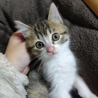 三毛猫 メス 子猫  引き渡し先見つかりました♡