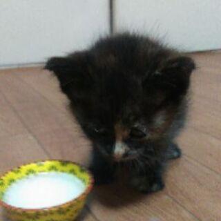 生後2ヶ月めす猫ちゃん
