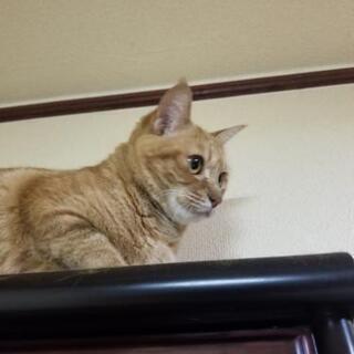 茶トラ柄のメス猫です