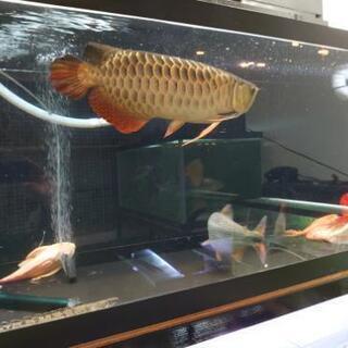 古代魚 熱帯魚 大型魚