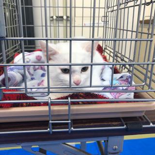 綺麗な白猫ちゃん - 八女市
