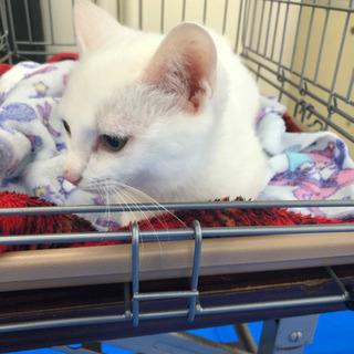 綺麗な白猫ちゃん - 猫