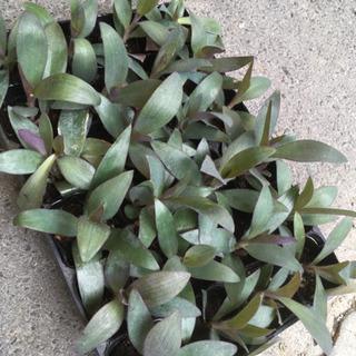 観葉植物 トラディスカンティー(苗)