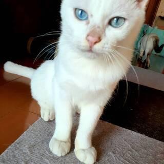 雪のように白い毛。ブルーアイの男の子。ちょっぴりひょうきん(^^♪