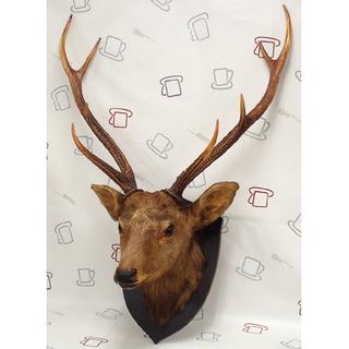 ♪ハンティングトロフィー 鹿の剥製 頭部 角 68巾 ワケあり♪
