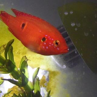 熱帯魚 レッドジュエルシクリッド 4cm前後  5匹