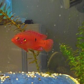 熱帯魚 へミクロミス パイネイレッド 成魚 5匹