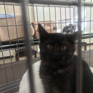 黒スモークの子猫 - 三養基郡
