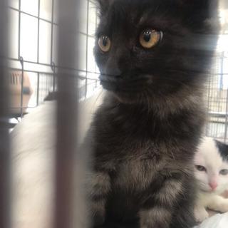 黒スモークの子猫 - 猫