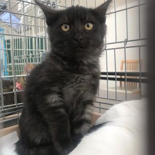 黒スモークの子猫の画像