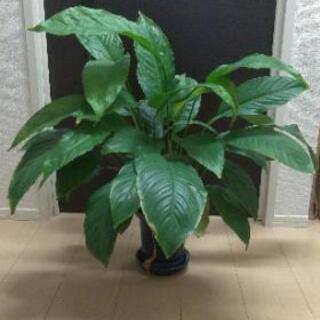 観葉植物 スパティフィラム②