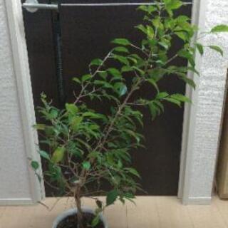 観葉植物 ベンジャミナ