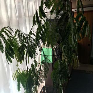 大きな観葉植物エバーグリーン