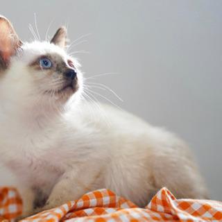 ふわふわシャム子猫です - 猫