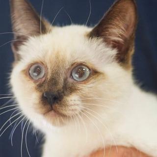 ふわふわシャム子猫ですの画像