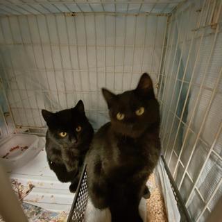黒猫の兄弟です - 猫