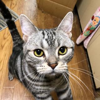 アメリカンショートヘア 里親募集 - 猫