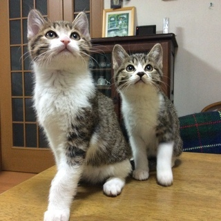 2 匹の子猫里親募集 - 愛西市