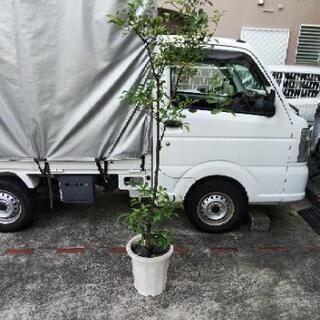 柑橘類 鬼柚子 10号 ゆず 果樹 2 M くらい