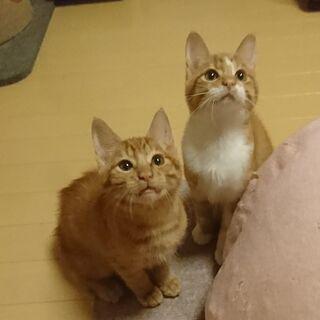 生後約3か月茶トラ&茶白のクリシモ兄弟