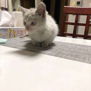 青い目の男の子☆ワクチン済☆ノミ駆除済☆生後3ヵ月