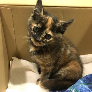 幸運の鍵しっぽ サビ女の子 2カ月程度 とても人懐っこい子猫です