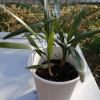 シュロ植木 植物