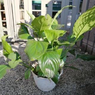 スパティフィラム 観葉植物