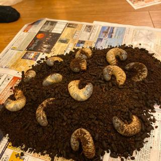 カブトムシの幼虫をお譲りします。