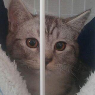 保護猫を迎えよう!生後5ヶ月。オス。さばとら、きじとら。