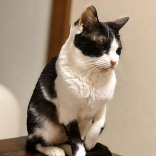 No.44 白黒ハチワレ - 猫