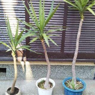 ユッカ 青年の木 観葉植物