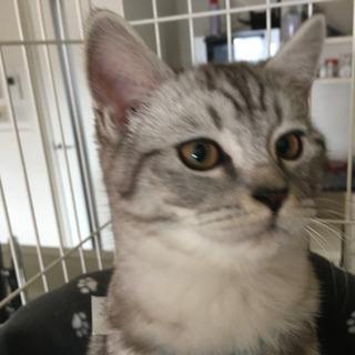 生後5ヶ月のサバトラ猫オス里親様募集