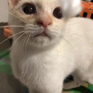 ★白とベージュの子猫★3ヶ月